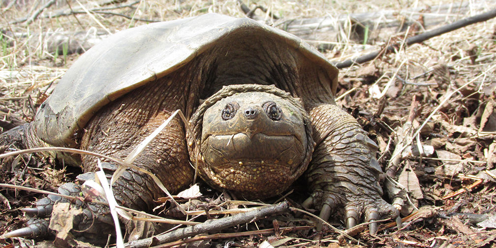 Snapping turtle © Sarah Woods