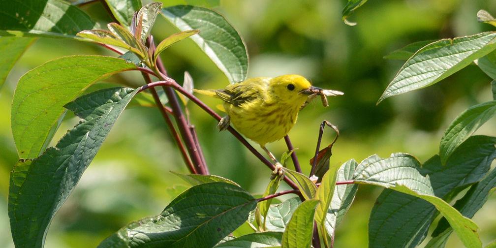 Yellow warbler, Kinghurst Forest Nature Reserve