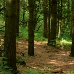 Many tall trees in a forest bottom made up of pine needles and green plants