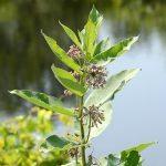 Common milkweed at Kinghurst Forest Nature Reserve