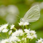 Mustard white butterfly ectaring at Lost Bay Nature Reserve.