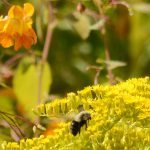 A bumblebee collects pollen from goldenrod near a showy patch of orange jewelweed at Lost Bay.