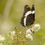 A white admiral butterfly feeds on nectar from meadowsweet flowers