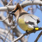 A cedar waxwing keeps a watchful eye over the Cawthra Mulock Nature Reserve