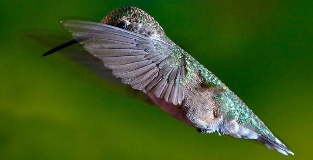 A close-up of a Ruby-Throated Hummingbird