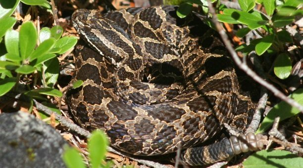 Eastern Massasauga Snake on forest floor