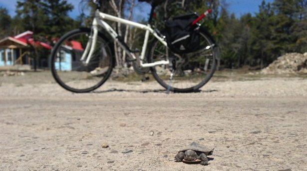 Midland Painted Turtle crossing a bike path