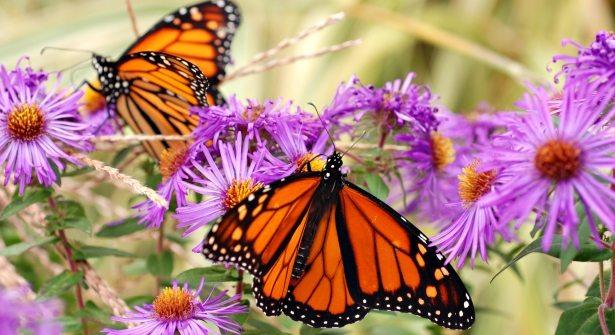 Monarch butterflies on New England aster flowers