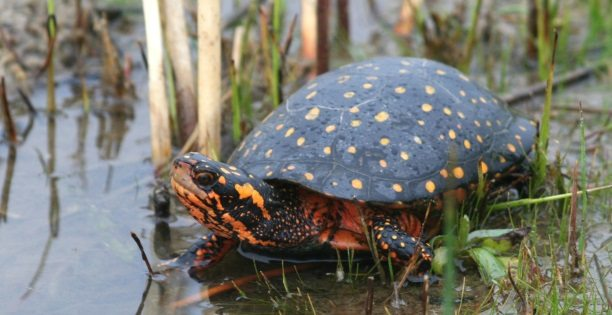 Spotted Turtle entering water