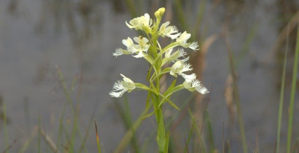 The rare Eastern Prairie Fringed Orchid in bloom