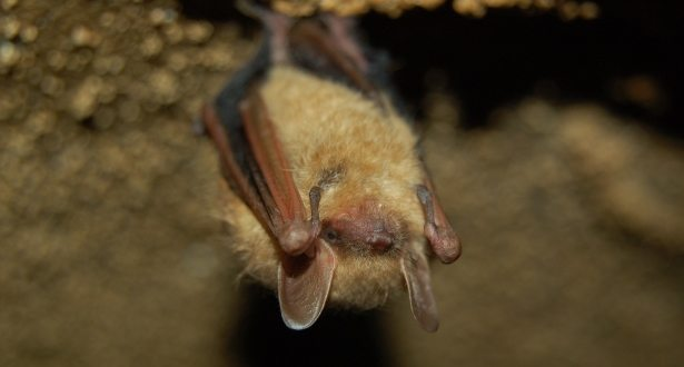A small brown bat hanging upside down