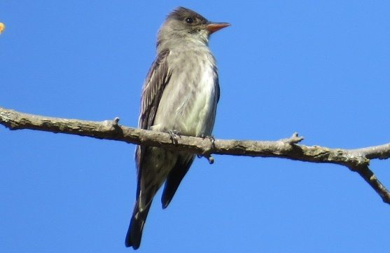 Olive-sided flycatcher on a branch