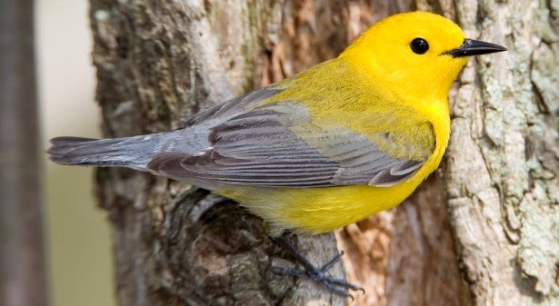 Prothonotary warbler perched on a tree