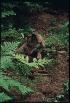 An Eastern Wolf in a forest