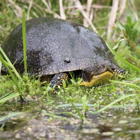 Blanding's Turtle in the water