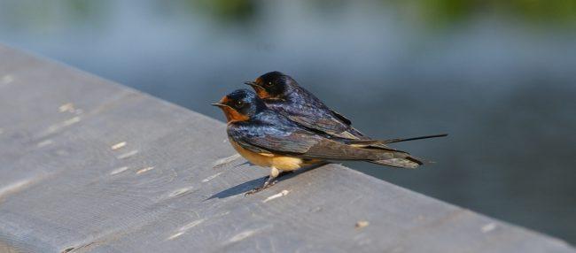 Barn Swallows on the boardwalk