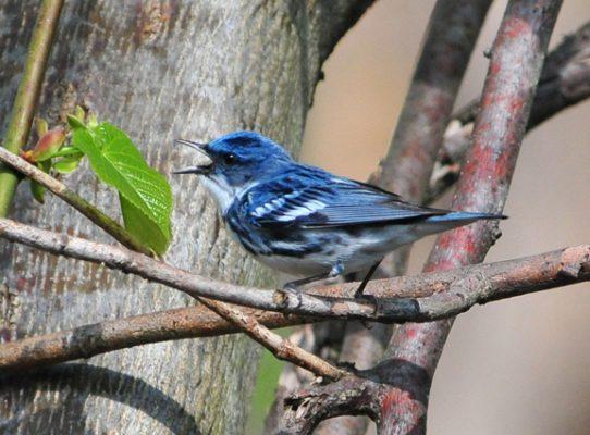 Cerulean warbler on a branch