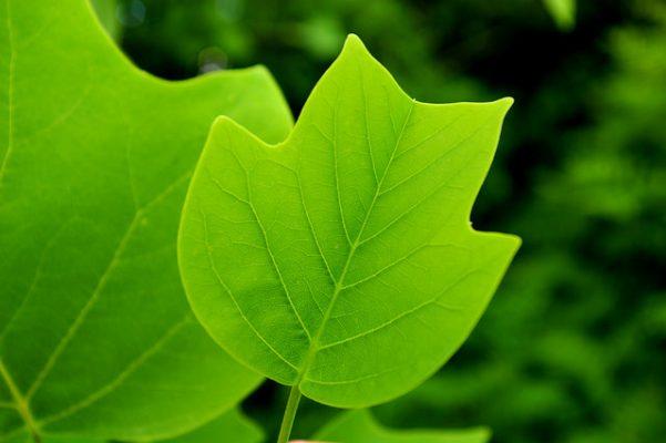 Close-up of a Tulip Tree Leaf