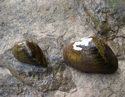 Two Snuffbox Mussels on a rock