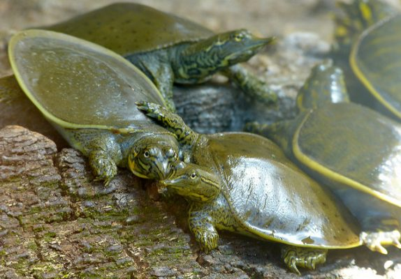 Group of Spiny Softshell Turtles on a log