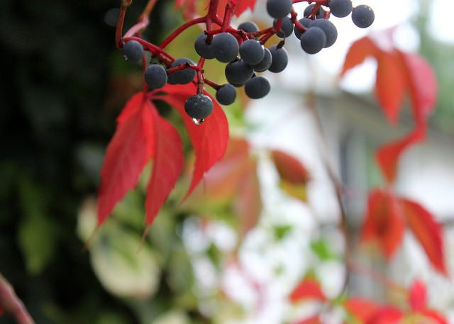 A red-leafed tree with small berries hanging from it, similar in appearance to blueberries