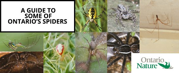 Different species of spiders with text overlaid: A guide to some of Ontario's Spiders
