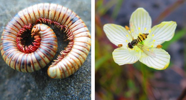 A millipede and a syrphid fly with black and yellow stripes on its back