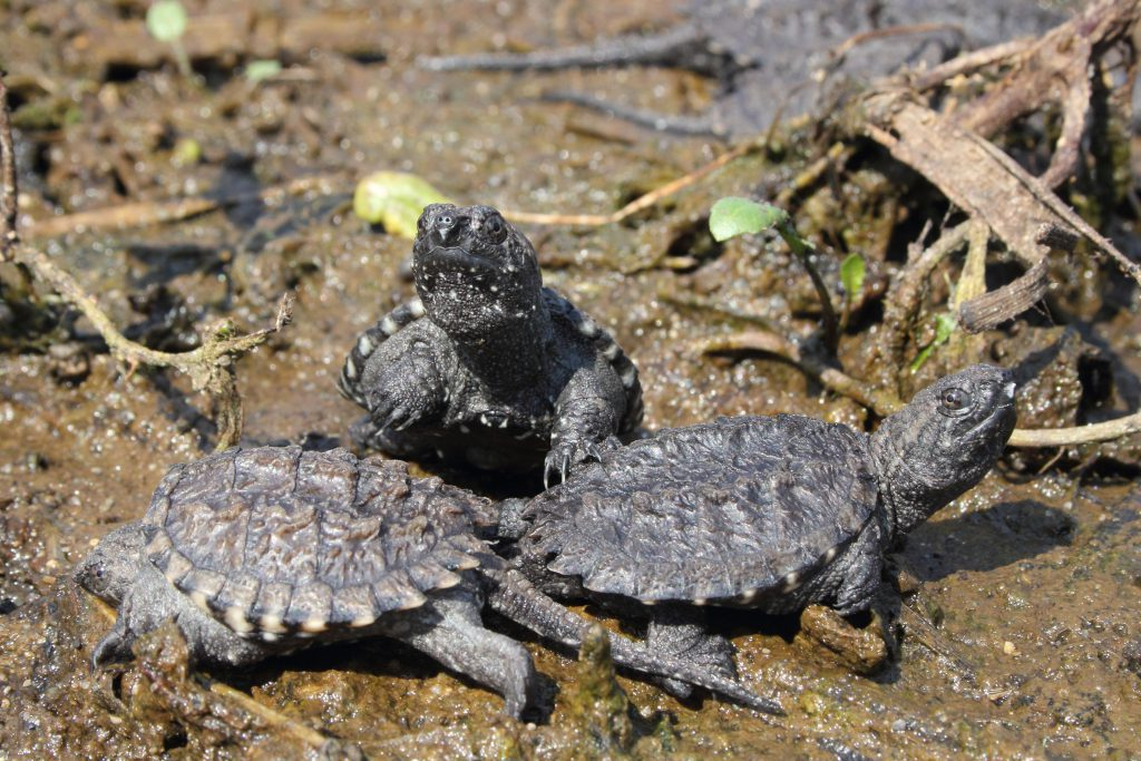 3 Snapping Turtle Hatchlings