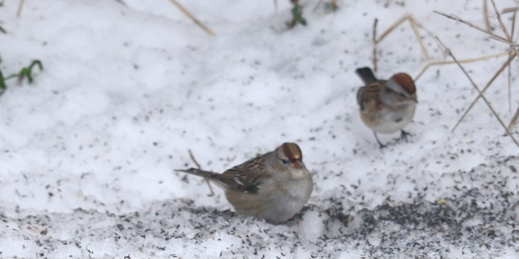 White-Crowned Sparrow and American Tree Sparrow in the snow