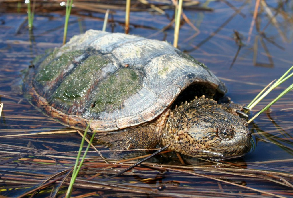 Snapping Turtle in shallow water with grass