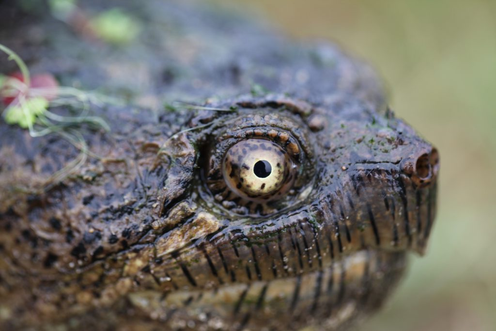 Top 5 reasons to end the snapping turtle hunt | Ontario Nature