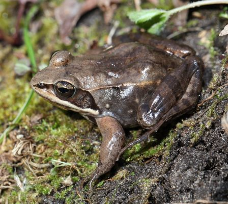 Close up of a Wood Frog
