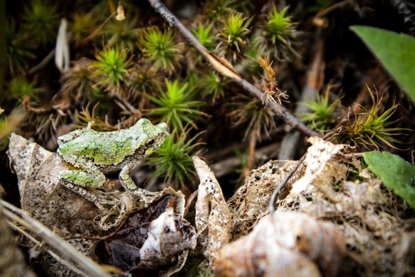 Gray Tree Frog on forest floor