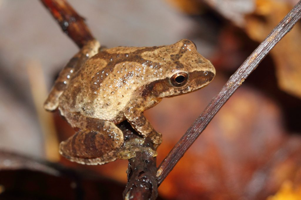 Spring Peeper on a twig