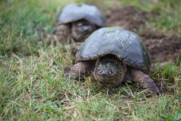 Snapping Turtle Convoy in a field