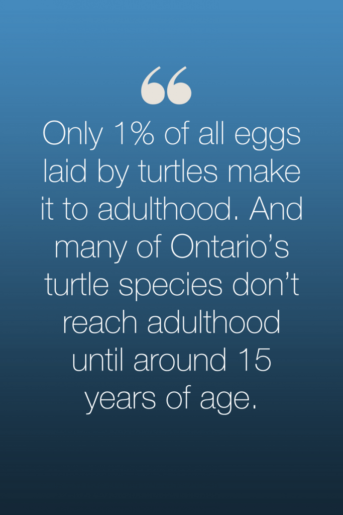 Only 1% of all eggs by turtles make it to adulthood