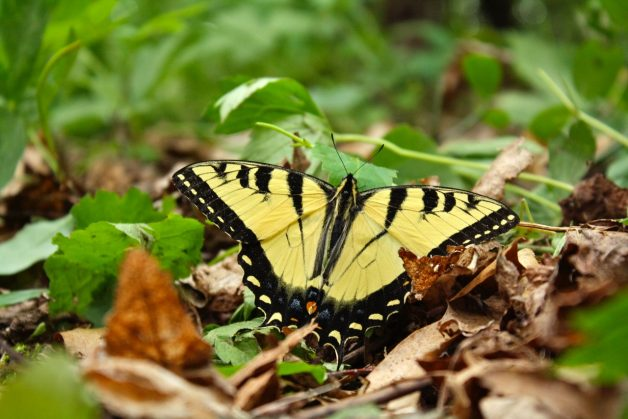Eastern Tiger Swallowtail on leaves