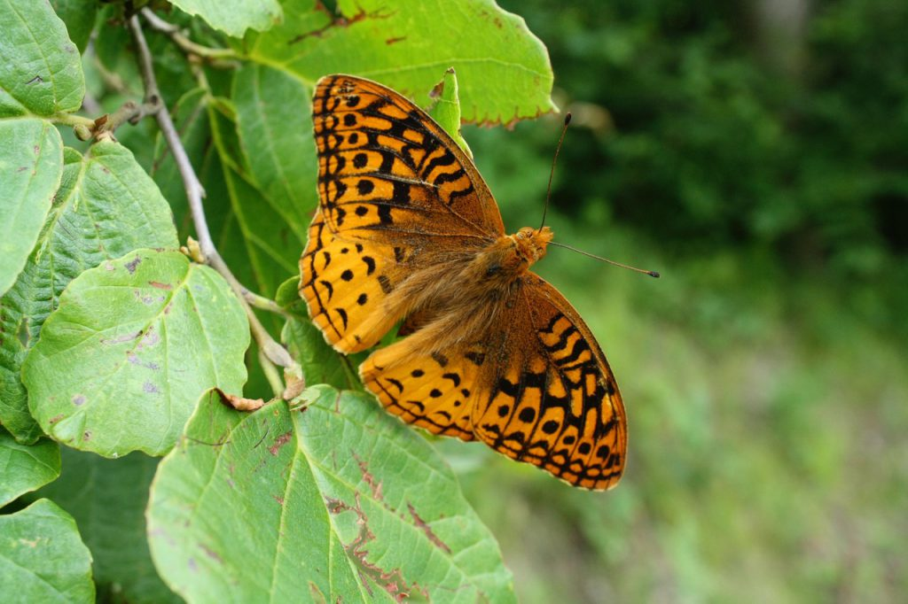 Great Spangled Fritillary butterfly on a leaf