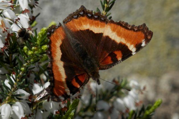 Millbert's Tortoiseshell Butterfly on flowers