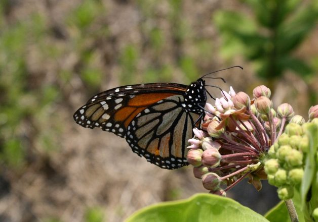 A Monarch Butterfly landed on Milkweed