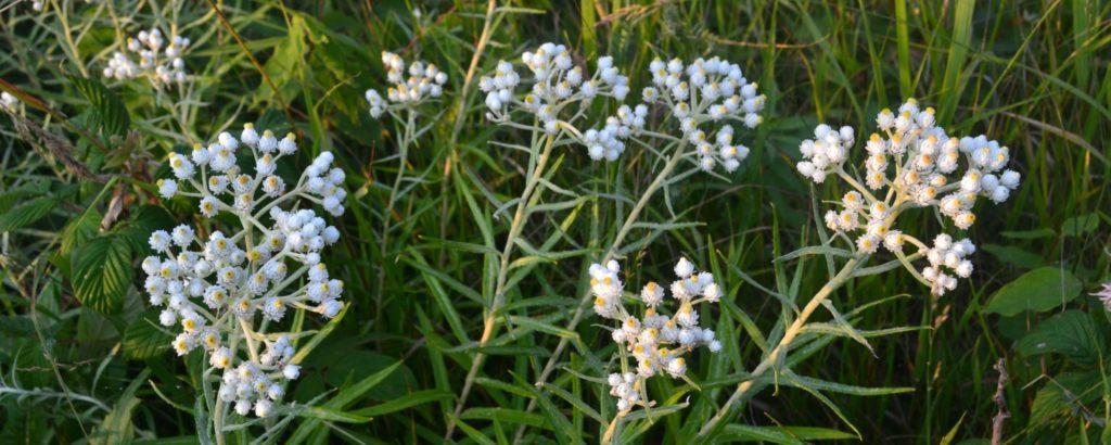 Pearly Everlastings blooming