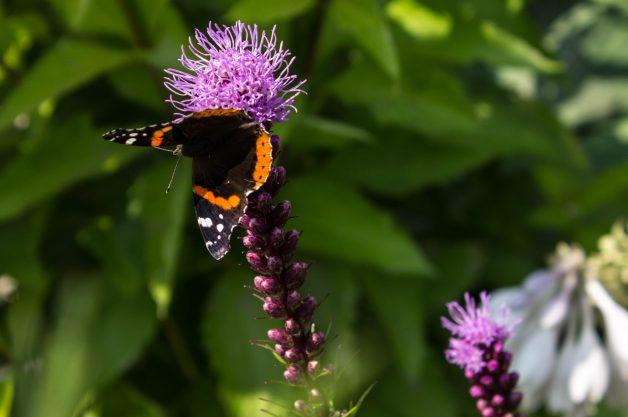 A Red Admiral Butterfly on a Prairie Blazingstar Flower