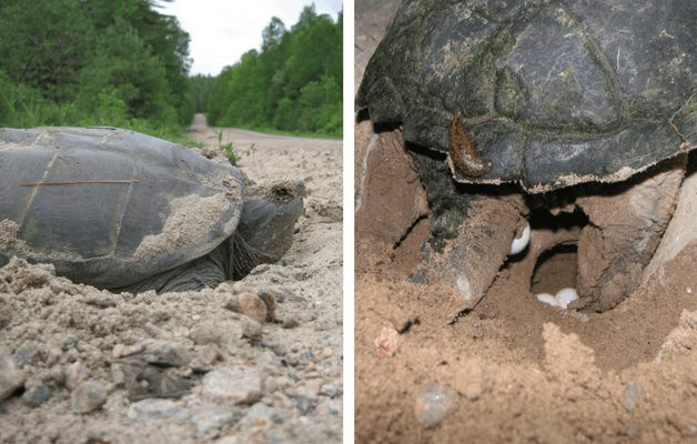 Female Snapping Turtle laying eggs on the beach