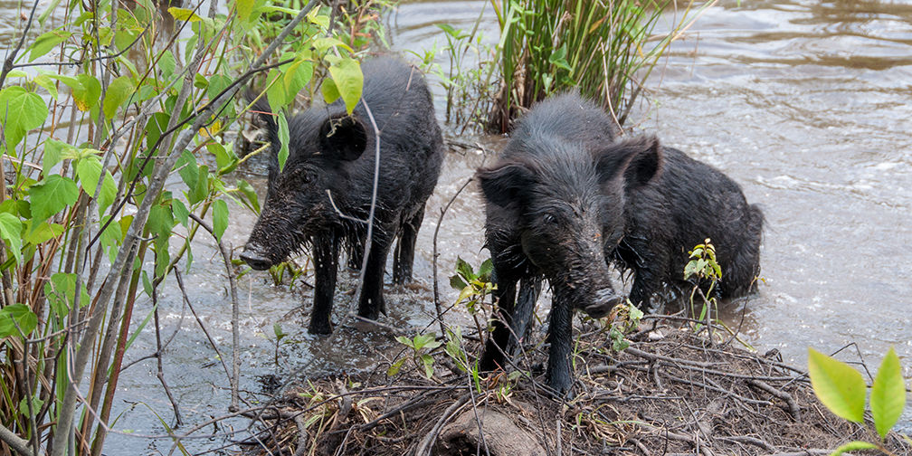 Feral Swine Sightings In Michigan Map.Ontario S Pig Problem Invasive Wild Boar Sightings In Ontario