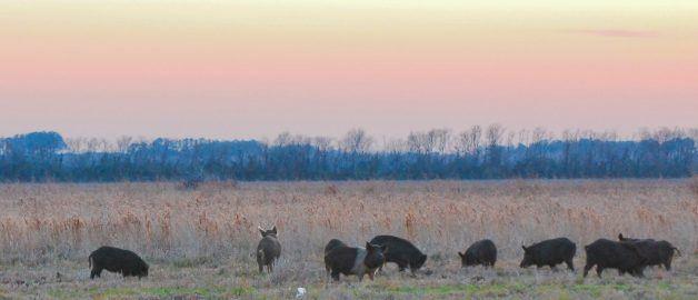 Ontario's pig problem: Invasive wild boar sightings in Ontario