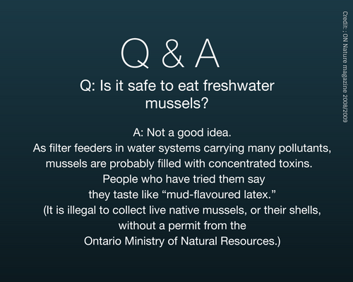 "Is it safe to eat freshwater mussels? Answer: Not a good idea. As filter feeders in water systems carrying many pollutants, mussels are probably filled with concentrated toxins. People who have tried them say they taste like ""mud-flavoured latex."" (It is illegal to collect live native mussels, or their shells, without a permit from the Ontario Ministry of Natural Resources.)"