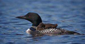 Common loon with chicks on water