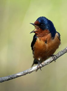 Barn Swallow (bird) perched on a branch