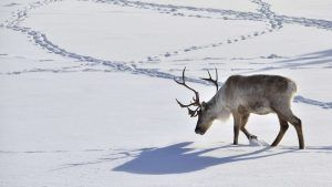 Caribou Walking in the Snow