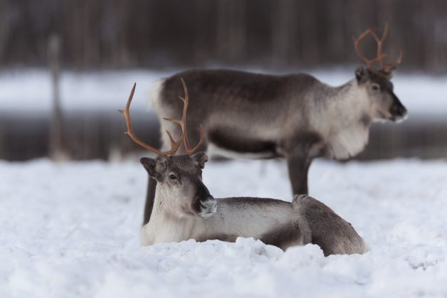 Two caribou lying in the snow on a lake